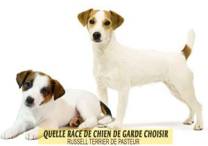 Quelle-race-de-chien-de-garde-choisir--19-RUSSELL-TERRIER-DE-PASTEUR