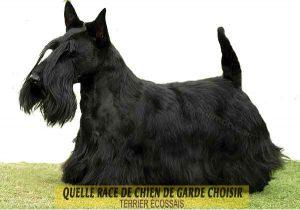 Quelle-race-de-chien-de-garde-choisir--22-TERRIER-ÉCOSSAIS