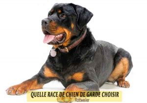 Quelle-race-de-chien-de-garde-choisir--23-Rottweiler