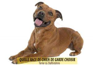 Quelle-race-de-chien-de-garde-choisir--26-Terrier-du-Staffordshire