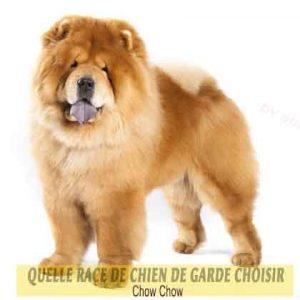 Quelle-race-de-chien-de-garde-choisir--27-Chow-Chow