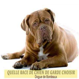Quelle-race-de-chien-de-garde-choisir--28-Dogue-de-Bordeaux