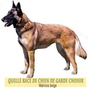 Quelle-race-de-chien-de-garde-choisir--29-Malinois-belge