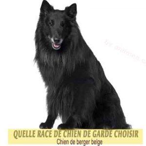 Quelle-race-de-chien-de-garde-choisir--30-Chien-de-berger-belge