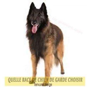 Quelle-race-de-chien-de-garde-choisir--31-Tervuren-belge