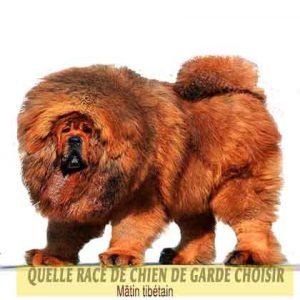 Quelle-race-de-chien-de-garde-choisir--32-Mâtin-tibétain