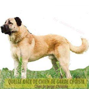 Quelle-race-de-chien-de-garde-choisir--33-Chien-de-berger-d'Anatolie