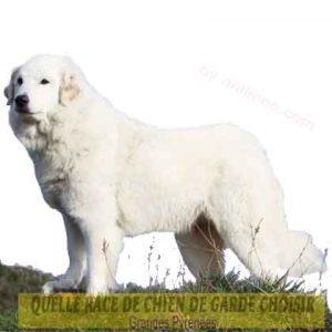 Quelle-race-de-chien-de-garde-choisir--35-Grandes-Pyrénées