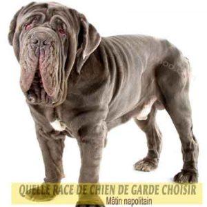 Quelle-race-de-chien-de-garde-choisir--36-Mâtin-napolitain