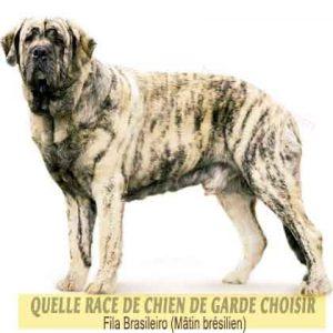 Quelle-race-de-chien-de-garde-choisir--37-Fila-Brasileiro--Mâtin-brésilien