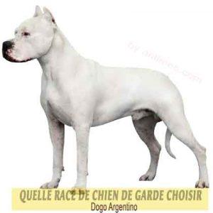 Quelle-race-de-chien-de-garde-choisir--39-Dogo-Argentino