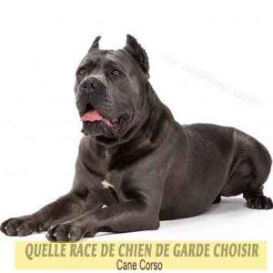 Quelle-race-de-chien-de-garde-choisir--40-Cane-Corso