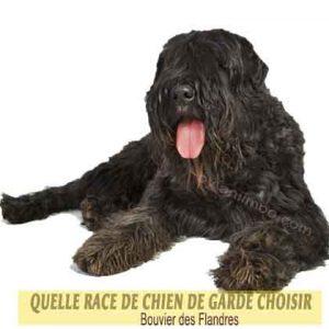 Quelle-race-de-chien-de-garde-choisir--42-Bouvier-des-Flandres