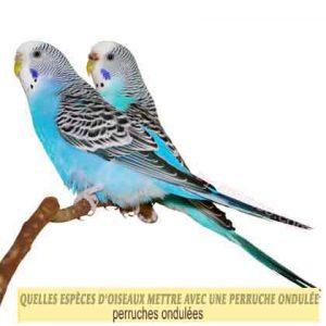 Quelles-espèces-d'oiseaux-mettre-avec-une-perruche-ondulée-01-perruches-ondulées