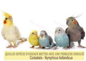Quelles-espèces-d'oiseaux-mettre-avec-une-perruche-ondulée-02-Cockatiels---Callopsites
