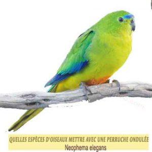 Quelles-espèces-d'oiseaux-mettre-avec-une-perruche-ondulée-03-Neophema-elegans
