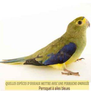 Quelles-espèces-d'oiseaux-mettre-avec-une-perruche-ondulée-04-Perroquet-à-ailes-bleues
