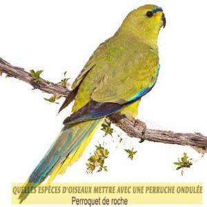 Quelles-espèces-d'oiseaux-mettre-avec-une-perruche-ondulée-05-Perroquet-de-roche