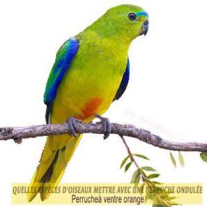 Quelles-espèces-d'oiseaux-mettre-avec-une-perruche-ondulée-07-Perroquet-à-ventre-orange