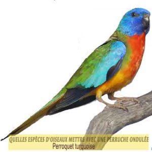 Quelles-espèces-d'oiseaux-mettre-avec-une-perruche-ondulée-08-Perroquet-turquoise