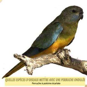 Quelles-espèces-d'oiseaux-mettre-avec-une-perruche-ondulée-09-Perruche-à-poitrine-écarlate