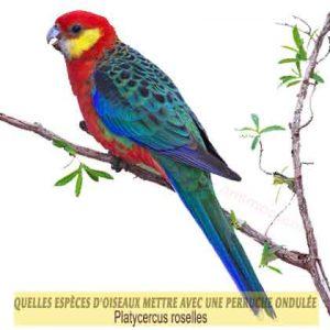 Quelles-espèces-d'oiseaux-mettre-avec-une-perruche-ondulée-10-Platycercus-roselles