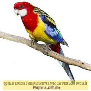 Quelles-espèces-d'oiseaux-mettre-avec-une-perruche-ondulée-12-Psephotus-adelaidae