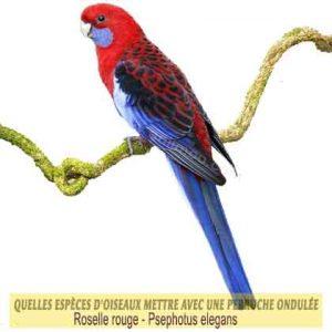 Quelles-espèces-d'oiseaux-mettre-avec-une-perruche-ondulée-14-Psephotus-elegans-Roselle-rouge
