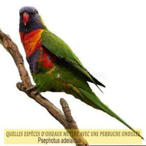 Quelles-espèces-d'oiseaux-mettre-avec-une-perruche-ondulée-15-Parrot-Blossom