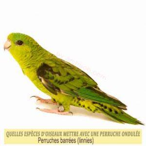 Quelles-espèces-d'oiseaux-mettre-avec-une-perruche-ondulée-18-perruches-barrées--linnies