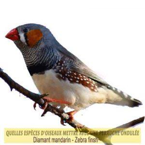 Quelles-espèces-d'oiseaux-mettre-avec-une-perruche-ondulée-26-Diamant-mandarin---Zebra-finch