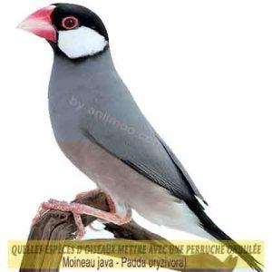Quelles-espèces-d'oiseaux-mettre-avec-une-perruche-ondulée-29-Moineau-java--Padda-oryzivora