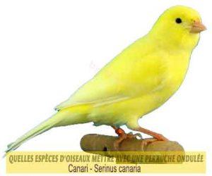 Quelles-espèces-d'oiseaux-mettre-avec-une-perruche-ondulée-32-Canari-Serinus-canaria