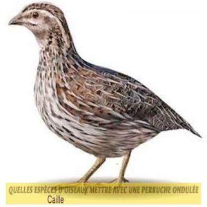 Quelles-espèces-d'oiseaux-mettre-avec-une-perruche-ondulée-33-Caille