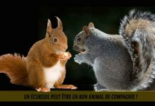 Un-écureuil-peut-être-un-bon-animal-de-compagnie