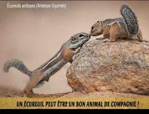 Un-écureuil-peut-être-un-bon-animal-de-compagnie.-04