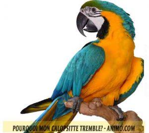 Ara-Pourquoi-mon-Calopsitte-tremble-04