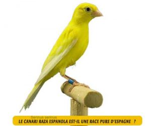 Canari-de-chant-Le-canari-Raza-Espanola-01