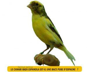 Canari-de-chant-Le-canari-Raza-Espanola-02