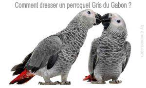 Comment-dresser-un-perroquet-Gris-du-Gabon-1200-800-02