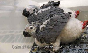 Comment-dresser-un-perroquet-Gris-du-Gabon-1200-800-03