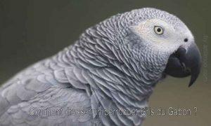 Comment-dresser-un-perroquet-Gris-du-Gabon-1200-800-04