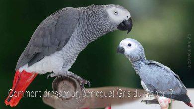 Comment-dresser-un-perroquet-Gris-du-Gabon