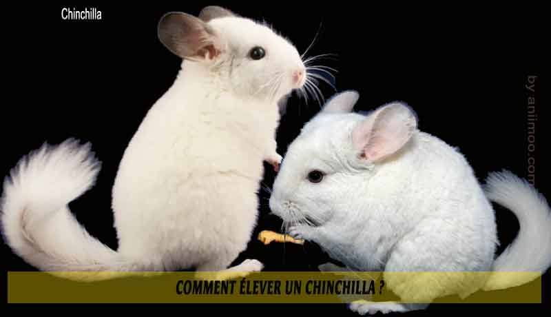 Comment-élever-un-Chinchilla-00
