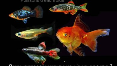 Fancy-Goldfish---Poissons-rouges-de-fantaisie-00