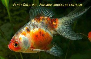 Fancy-Goldfish---Poissons-rouges-de-fantaisie-01
