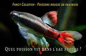 Fancy-Goldfish---Poissons-rouges-de-fantaisie-02