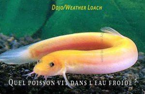 Fancy-Goldfish---Poissons-rouges-de-fantaisie-05