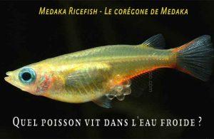 Fancy-Goldfish---Poissons-rouges-de-fantaisie-08
