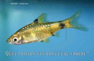 Fancy-Goldfish---Poissons-rouges-de-fantaisie-11